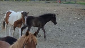 2 year old Pinto Pony Filly