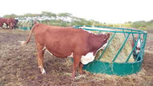 Bred and open cow. Purebred hereford