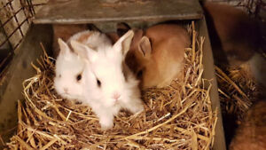 6 Sweet fluffy  lion bunny's for sale