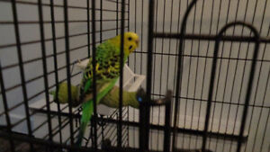 Two budgie birds $20 for the pair. _NO CAGE