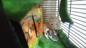 Rat sitter for one week (Aug 12-21), 2 young-adult females