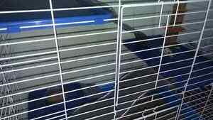 Pet Rat for Sale
