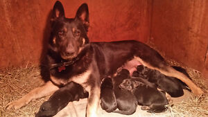 German Shepard Puppies For Sale