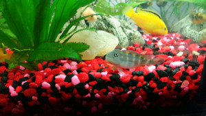 Yello labs cichlids