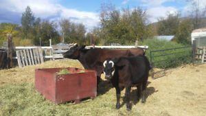 Angus/Jersey cow and calf