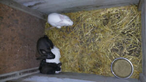 Rabbits and bunnies Available Pets, breeding and meat