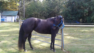 Stunning  5 year old registered QH mare