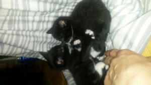 i have two beautiful all black baby kittens!
