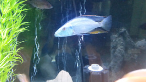 Cichlids for sale! Must go... starting a new group of juvies.