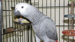 AFRICAN GREY Windsor Region Ontario image 1