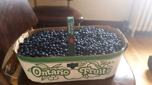 Selling 12L of Fresh Wild Blueberries