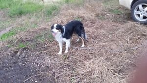 Border Collie Male Needing to be Rehomed Strathcona County Edmonton Area image 6