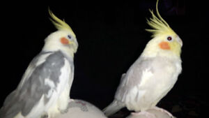 Trained, breeding 3 year old male and female cockatiels for sale