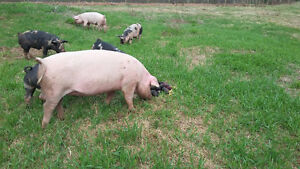 Pastured pork and meat king chicken meat for sale
