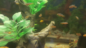 African cichlids for sale