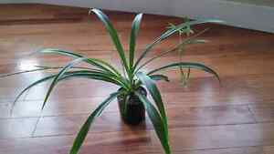 A very nice spider plant