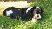 Gorgeous Cavalier  King  Charles Female Puppy Ready!