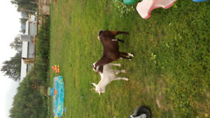 2 Whethered goats for sale