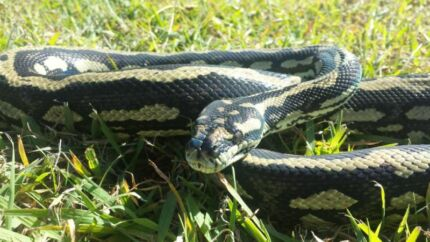 Male striped Atherton jungle python for sale or swap Cooroibah Noosa Area Preview