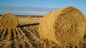 230 round straw bales for sale
