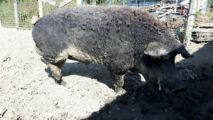 Swallow Belly Mangalitsa Boar for Sale