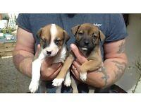 Staffy x mastiff puppy's stunning eyes
