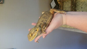 Selling bearded dragon & tank. Will sell separetly