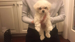 Adorable & Super Cute Snow White Maltese Puppy