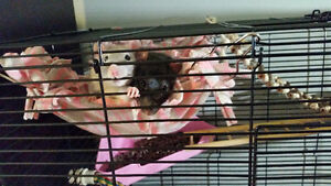 Two Female Rats Looking For Loving Home