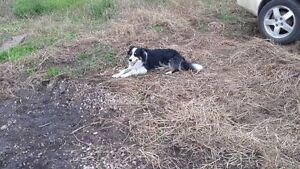Border Collie Male Needing to be Rehomed Strathcona County Edmonton Area image 5