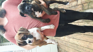 Pure Bred ckc Registered Boxer Puppies