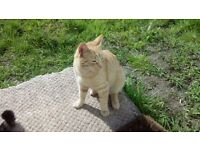 Lost ginger cat