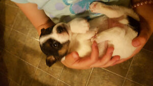 2 cute female jack Russel puppies for sale