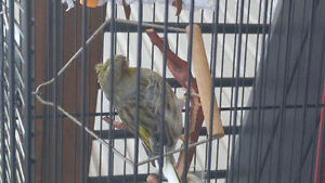 Canary gloster male avec cage