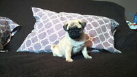 *1 LEFT!! MALE PUG PUPPIES FOR SALE** IN MTL