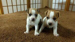 Toy Rat Terrier pups