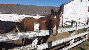 Tennessee Walker 9yr old gelding/ Quiet/Well broke!