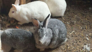 Flemish Giant and White New Zealand Rabbits for sale.