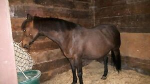 13.2hh welsh x mare