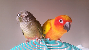 Conures for rehoming