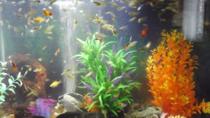 Guppies for sale or trade