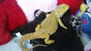 male citrus bearded dragon with tank