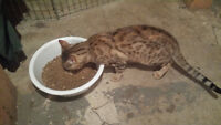 REDUCED friendly bengal male for sale