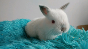 2 holland lop mix bunnies