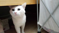 Pure White Cat for Adoption - male 1.5 years old
