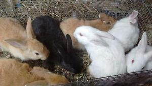 New Zealand Meat Rabbit Babies