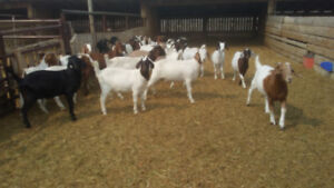 Boers goats for meat