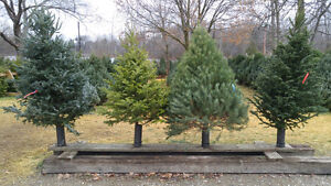 Fresh Cut Christmas Trees London Ontario image 1