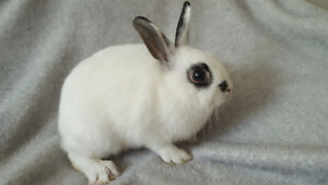 Super Friendly & Cute Netherland Dwarf Rabbits - 1 Boy Left!