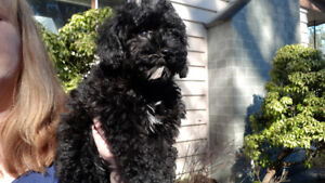 SMALL MINIATURE POODLE PUPPY